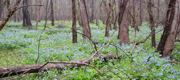 Virginia Bluebells at Merrimac Farm Wildlife Management Area (Prince William County)