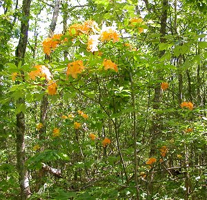 fire azalea on Warspur trail, Salt Pond Mountain (Giles County)
