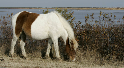 Chincoteague ponies, which live on Assateague Island, are managed by the local fire department